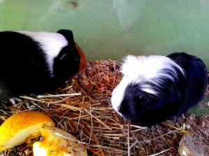 two, cute, black, guinea, pigs