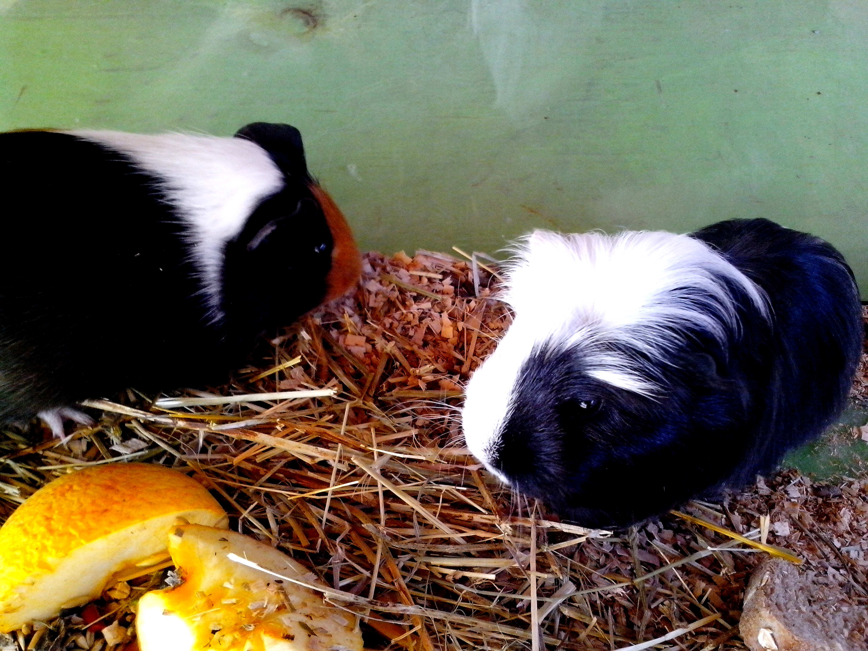 Free photograph; two, cute, black, guinea, pigs
