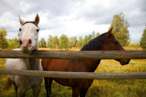 up-close, two, horses, fence