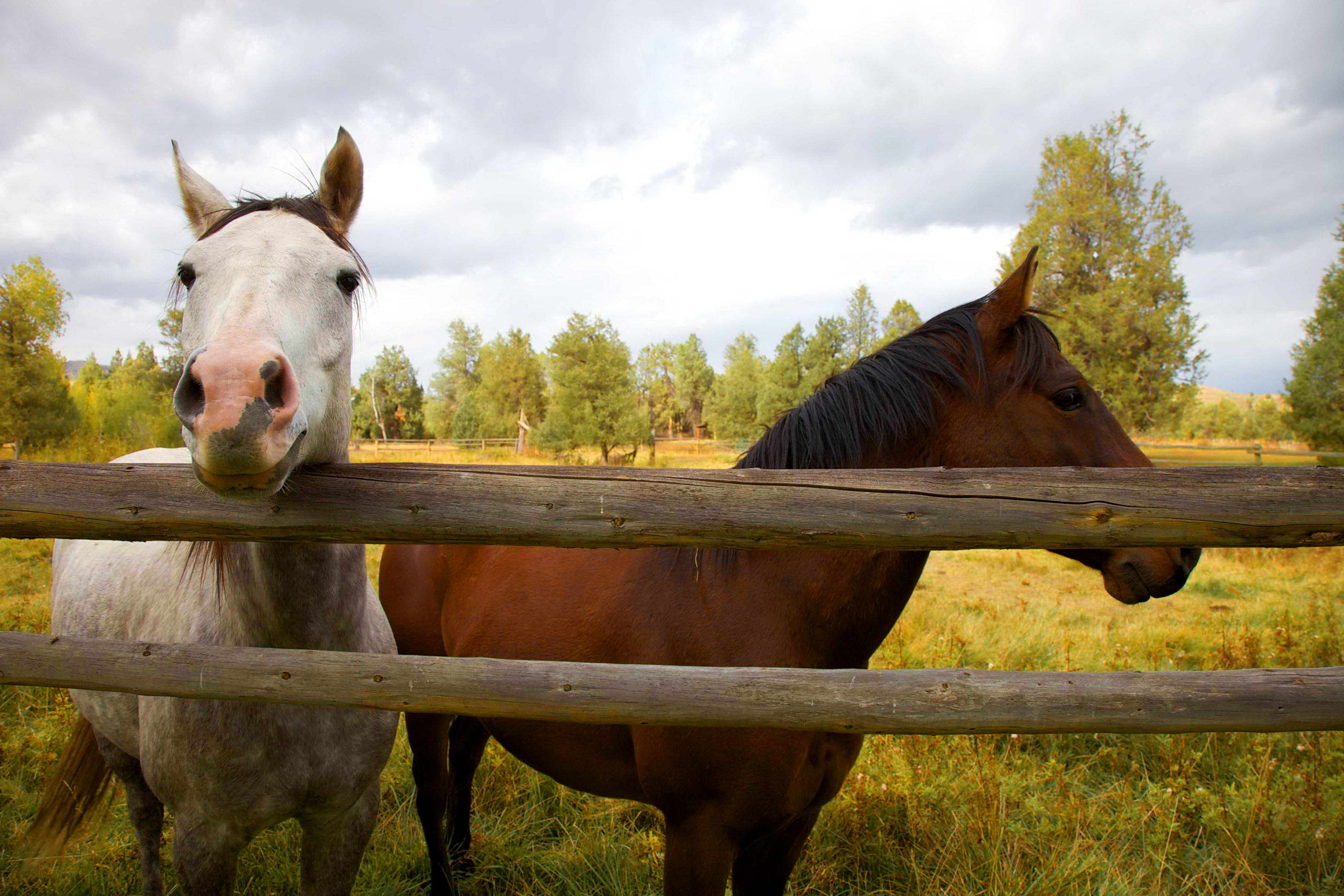 Free picture: up-close, two, horses, fence