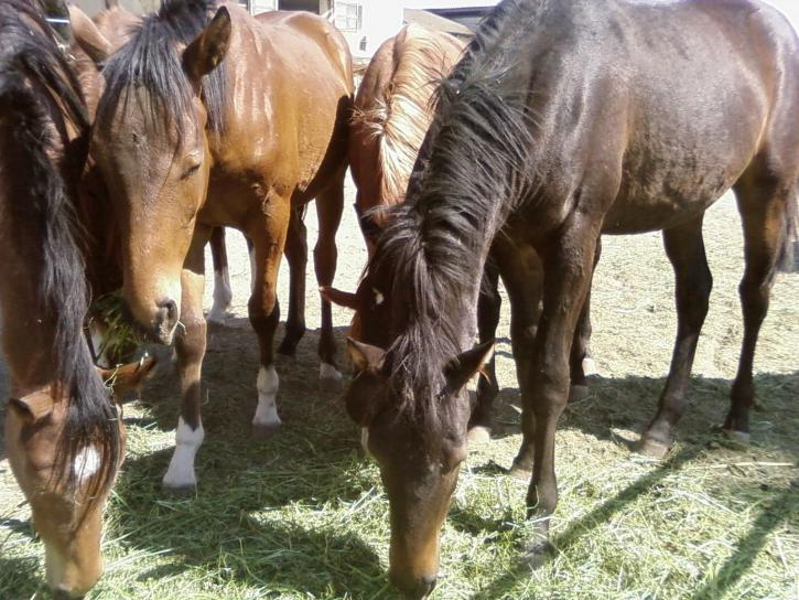black, horses