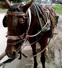 gipsy, horse