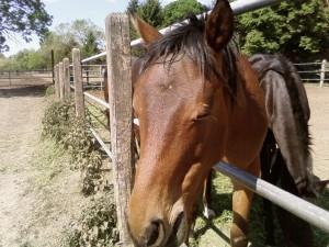cheval, de près, le visage