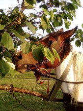 cheval, manger, arbre, feuilles