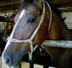 cheval, tête, arabe, cheval