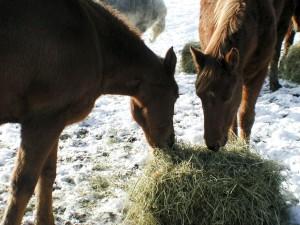 chevaux, manger, foin