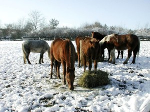 horses, eating, snow