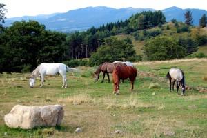 chevaux, champ, equus, ferus, caballus