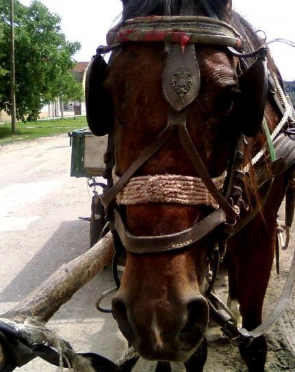 romany, horse