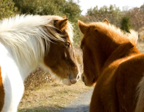 two, wild, horses, stand, closely, together, equus, ferus