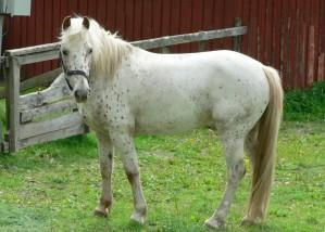white, horse