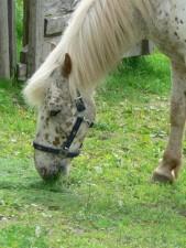 vit, häst, nära