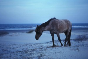 Wild, horse, kävely, beach, Broadwaylle ferus