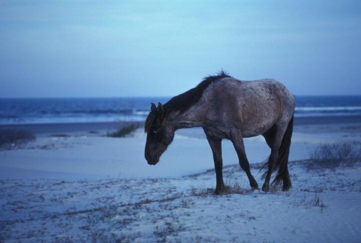 divoká, jízda, chůze, pláž, equus, ferus
