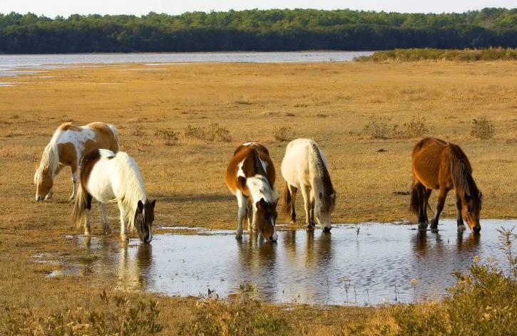 wild, pony, assateague, pony, equus, caballus