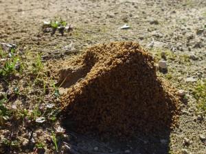 asymétrique, fourmi, insecte, monter