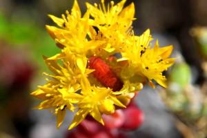larvalar, Kerberos'ta, uyum, karıncalar, ana bilgisayar, bitki, hendek stonecrop, bahçedeki, spathulifolium