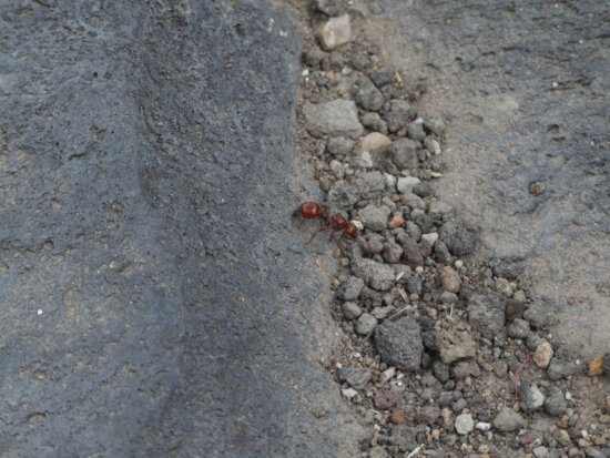 red, ant