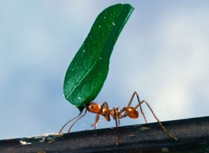worker, ant, carrying, leaf