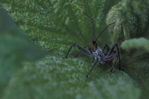 bug, salamurhaaja, helmiä, kosteutta, vihreitä lehtiä