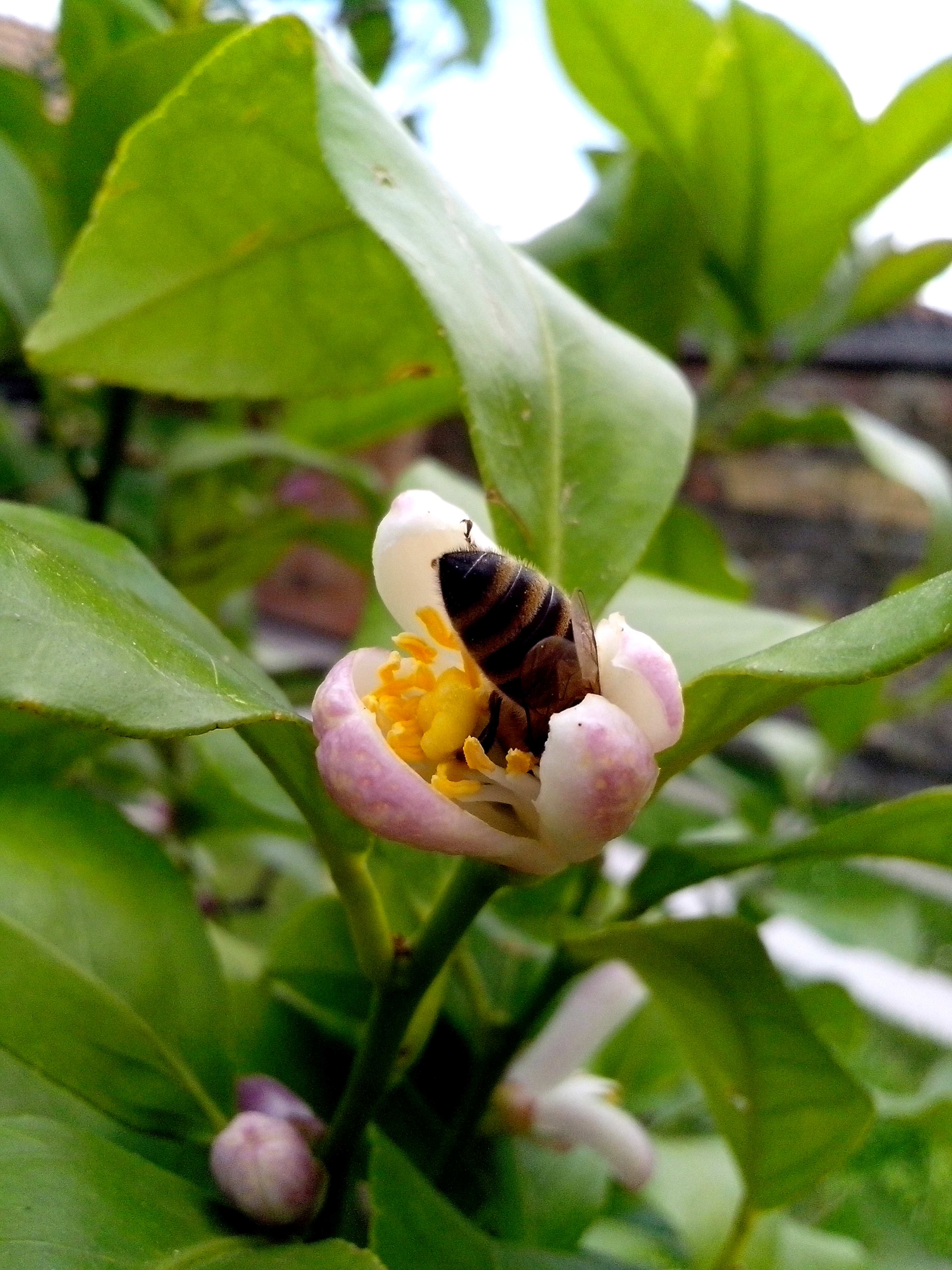 Free photograph; bee, pollinated, flower, lemon
