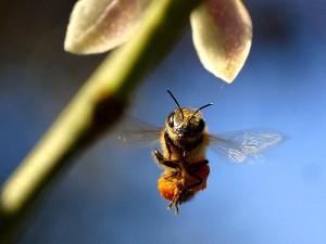 abeille, bourdonnement, citron, arbre, balcon