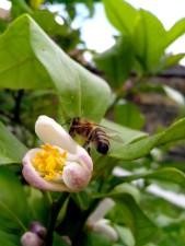 abeille, voler, citron, arbre