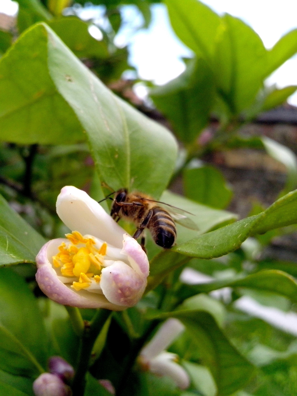 Free photograph; bee, flying, lemon, tree