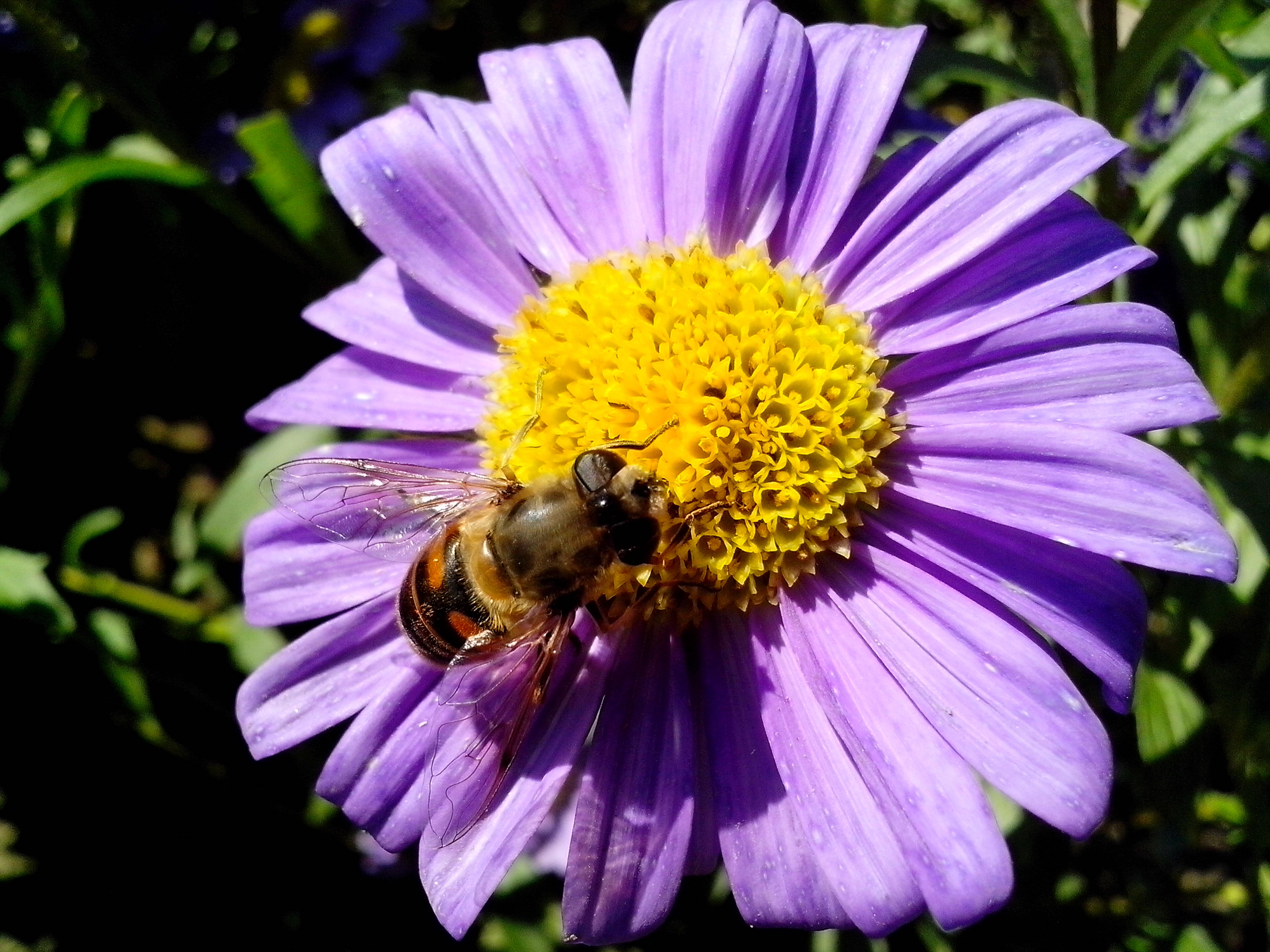 Free photograph; bee, insect, purple, flower