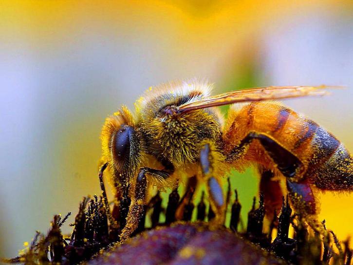bee, macro, insect