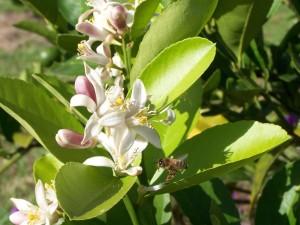 Biene, Zitrusfrüchte, Baum, Blüten