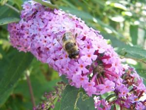 abeille, fleur pourpre