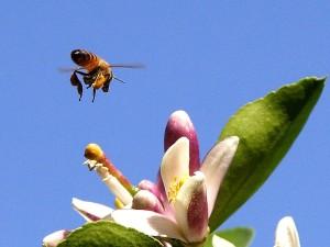 蜂は、花粉、昆虫、レモンの花
