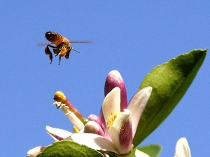 Bee, pollen, insekt, sitron blomst