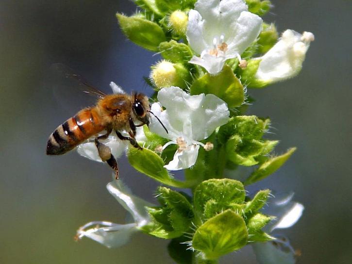 bee, pollinating, basil, balcony
