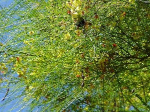Bee дерево Бальбоа, парк, Кактус