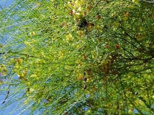 пчела, дърво, Балбоа, парк, кактус