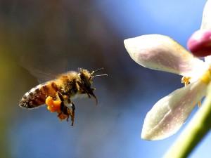 abeille, myer, citron, arbre