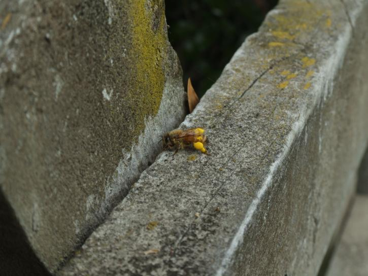 pollen d'abeille