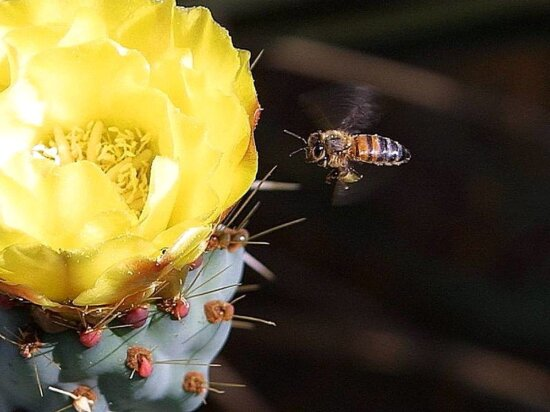 bees, cactus, flowers