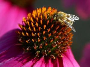 abeilles, fleurs, macro