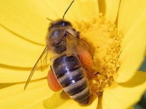 abeilles, fleurs, pollen