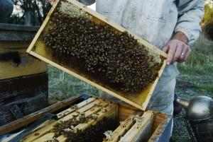 bier, hive