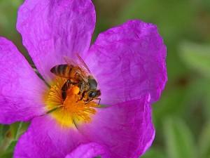 les abeilles, les insectes, les pollens