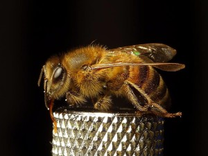 abeilles, insectes, ailes, insectes