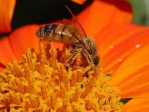 bees, flowers, collecting, pollen