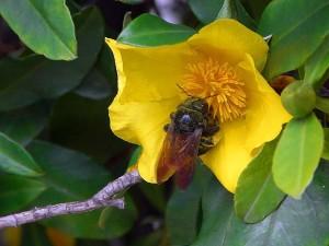 bees, yellow flowers, pollen