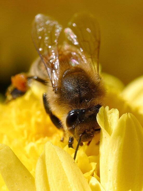 bees, pollen, insects, wings, macro, bugs