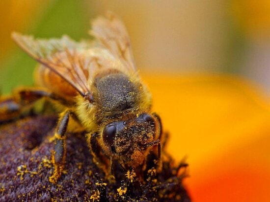 bees, pollenating, insects, bugs