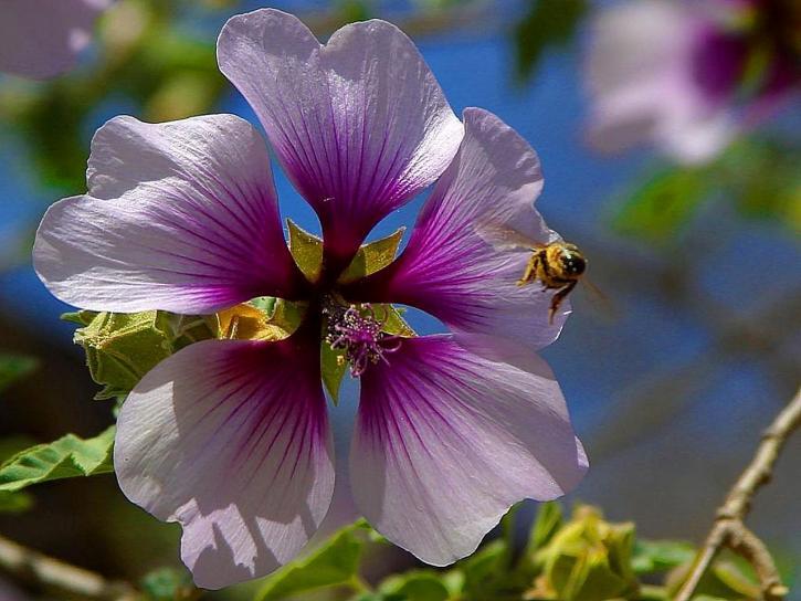 včely, fialové květy